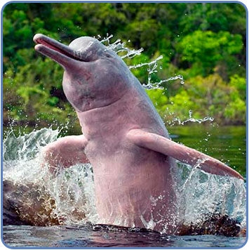 pink-river-dolphin_jump