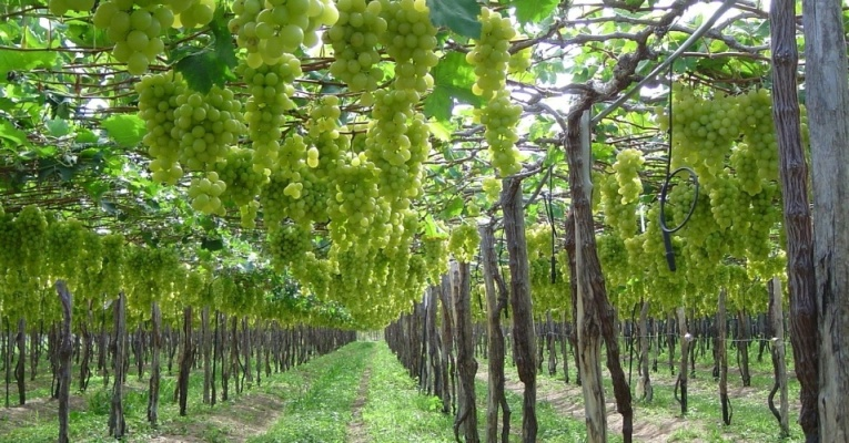 vinicola-ouro-verde-da-miolo-localizada-no-municipio-de-casa-nova-na-bahia-1367854476183_956x500